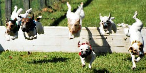 Jack Russell Races